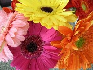Image of Gerber daisies